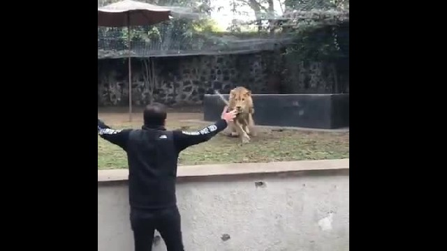 Funny footage of lion lovingly responds to owner's calling and trips over his own paws 3