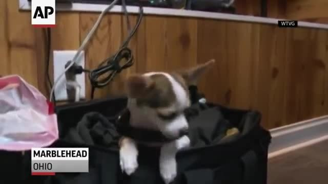 Tiny Rescue Chihuahua Joins Police Force, Makes Big Impact On Community
