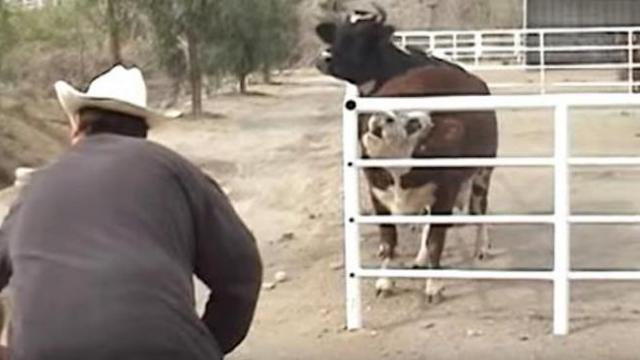 Cow won't stop crying for her missing baby, then looks through the fence and loses control