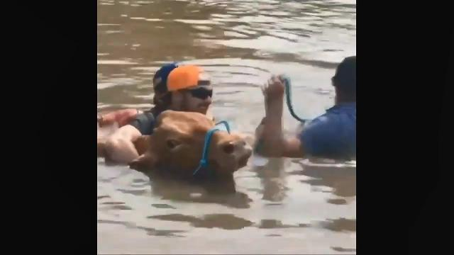 Real Footage, Arkansas River, Oklahoma flooding, people and animals