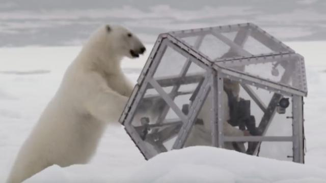 Wild polar bear tries to break in