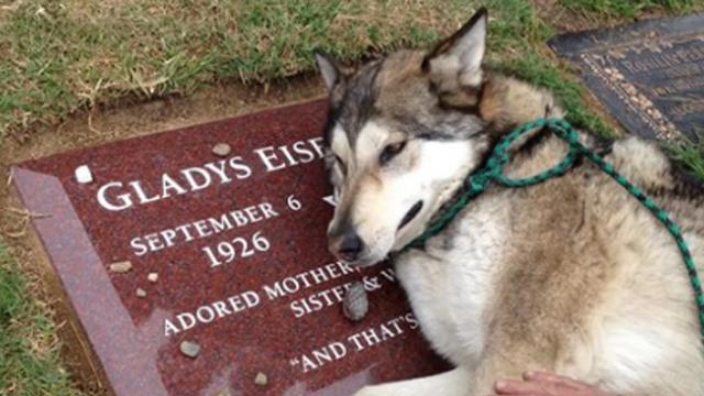 Wolf-dog cannot stop sobbing at the grave of its late owner