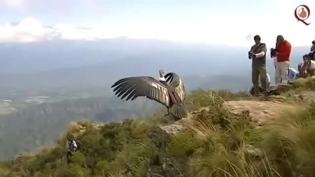 Andean Condor Appears To 'Thank' Rescuers In This Awe-Inspiring Rescue