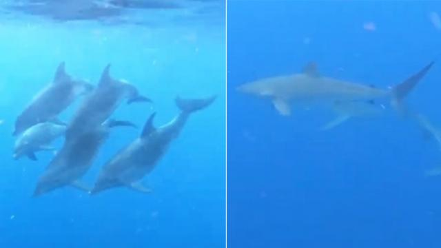 Dolphins drove shark away when it tried to go near a group of divers