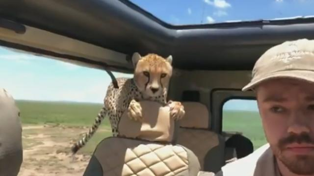 Cheetah jumps into man's jeep during safari and gives him the scare of his life