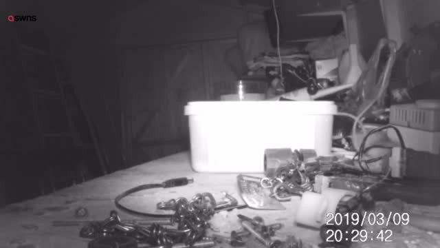 72-year-old sets up hidden camera, realizes tiny mouse has been cleaning up his shed