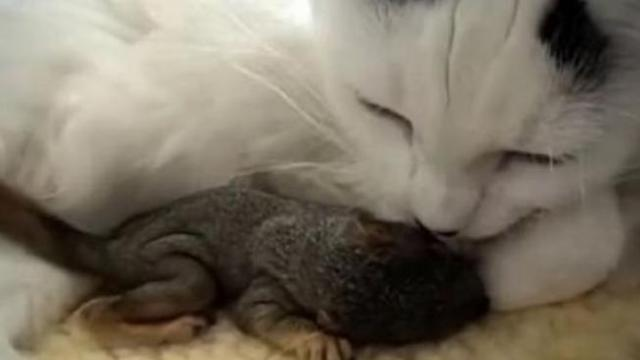 Cat saves baby squirrels found in yard and becomes their new mom