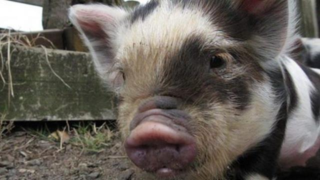 Miniature pig couldn't sleep until he started sneaking out to meet his unlikely best friend