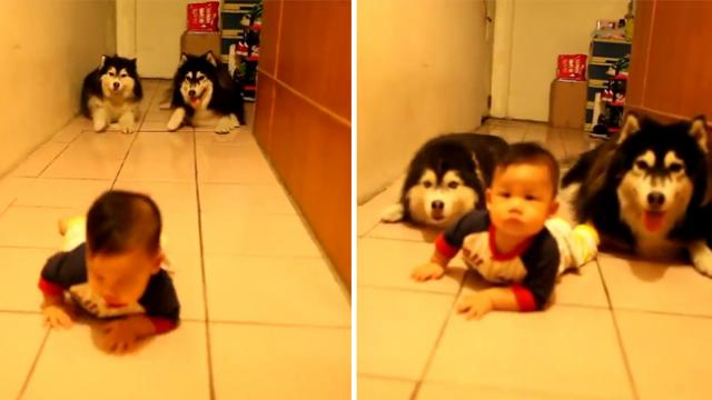 Hilarious moment dogs trying to imitate baby crawling—they are