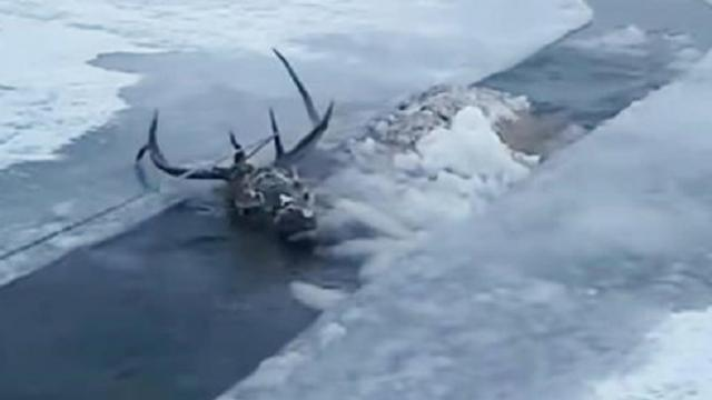 Drowning stag cries out from frozen lake — finally help arrives,