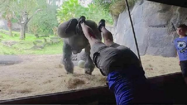 Caretaker becomes first known person to teach a gorilla to do a handstand