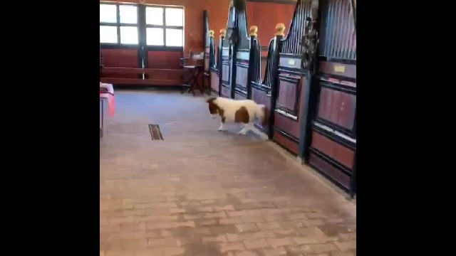 "Ranchers burst out laughing when they see mini horse doing the ""moonwalk"""