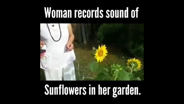 Woman records sunflowers 'singing,' and it sounds like music from other dimension