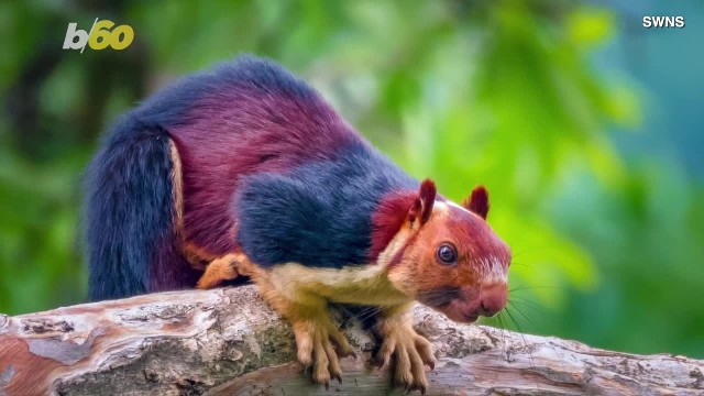 Man spots unusual critters in the forest, then snaps photos of the giant multicolored squirrels