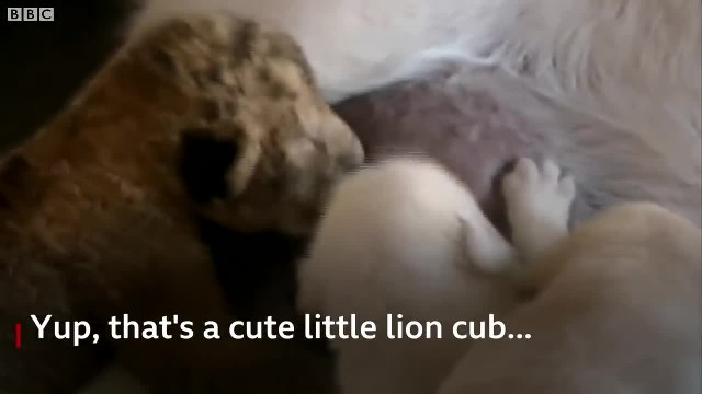 A MOTHER'S LOVE: THIS DOG RAISED A LION CUB AS IF IT WERE HER OWN.