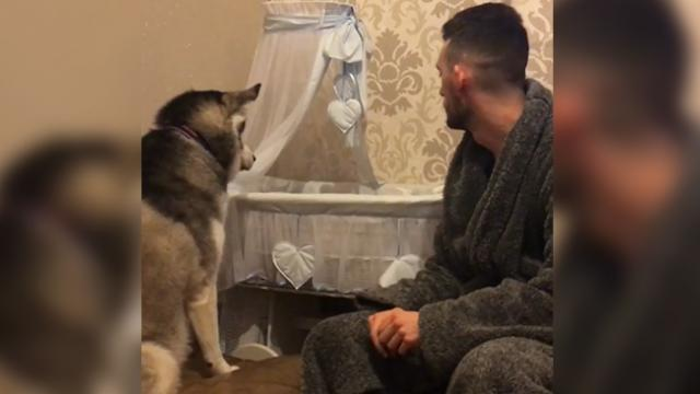 Adorable husky is so excited about her baby human brother, and won't stop looking at him in the cot!