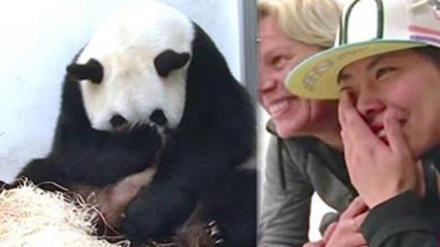 Zookeepers start sobbing when pregnant panda reveals her baby