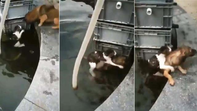 Brave dog heroically saves cat by jumping into the water and piggybacking her to safety