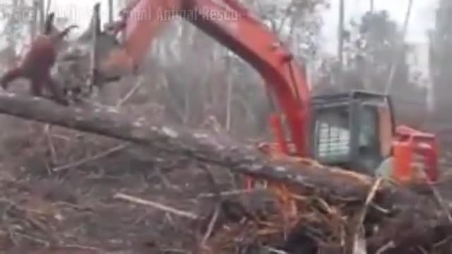 Tragic video of orangutan trying to save his home from illegal diggers