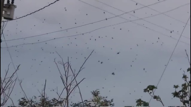 Thousands of spiders fall from the sky forcing terrified residents to run for cover