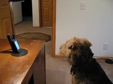 Airedale Terrier Calls Mom At Work & Their Conversation Is Hilarious!