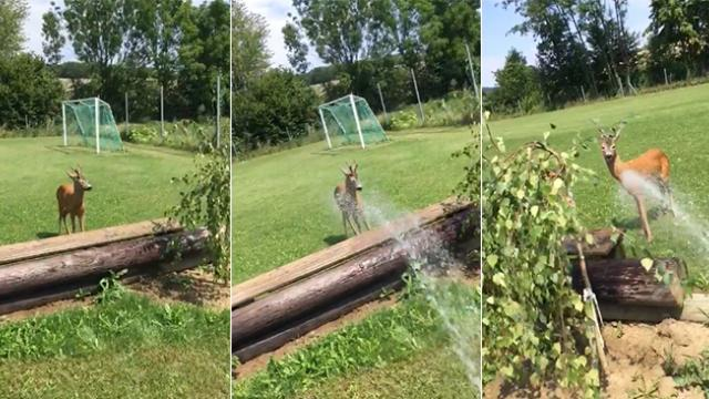 Here's a cool way to keep a deer refreshed under the hot sun