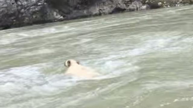 This bear was about to drown so one creative boater helped it out in the coolest way