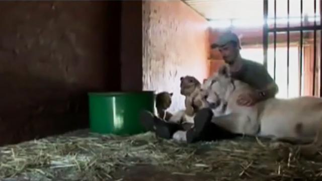 LIONESS MOTHER GIVES BIRTH TO LION CUB, BUT THEN THIS MAN SEES