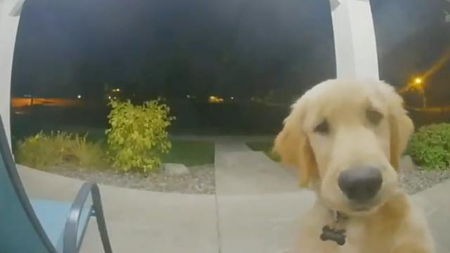 Runaway puppy decides he's had enough, goes back home and rings the doorbell!