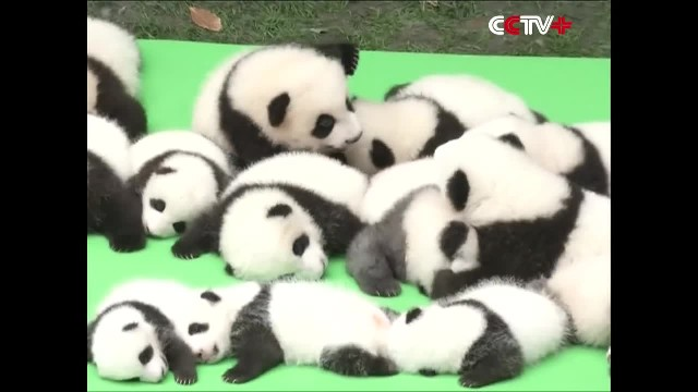 A baby panda daycare exists and it's open for visitors