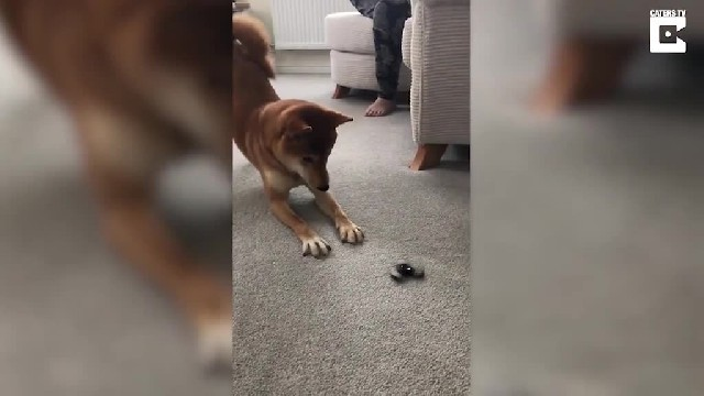 Barking mad! Adorable Shiba Inu dog has a MELTDOWN when she sees a fidget spinner