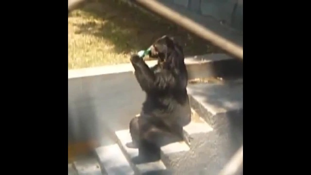 Bear steals 36 beers from campers, gets drunk & passes out until rangers come