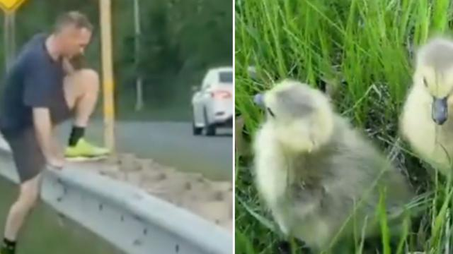 Drivers drop everything to help ducks on busy highway