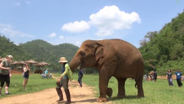 Rescue elephant interrupts caretaker so she can sing lullaby to distressed baby calf