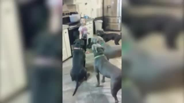 Little girl has complete mastery over huge group of Pit Bulls