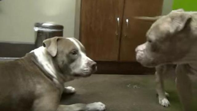Two rescued pit bulls can't stop dancing together when they meet