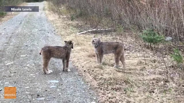 Watch lynxes scream at each other