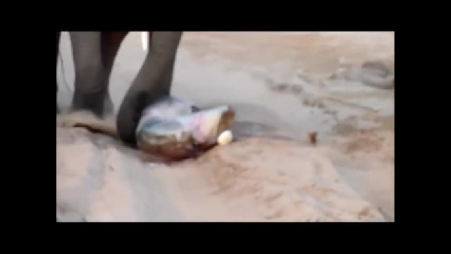 Baby Elephant Is Born When Elders Huddle And Start Kicking Up Dirt