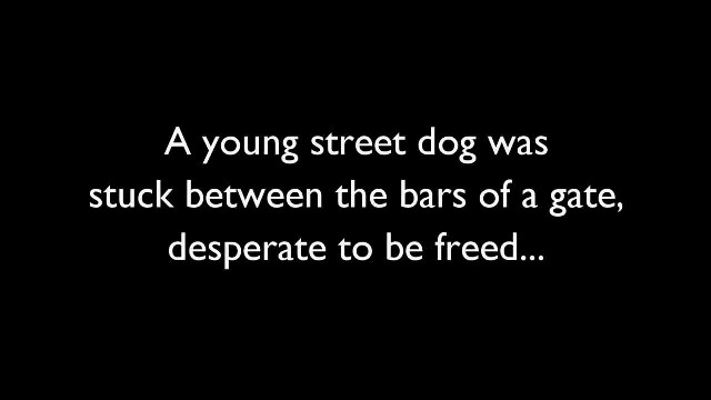 Desperate for help and crying, a trapped dog gets freed from a gate
