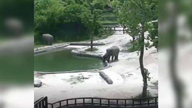 Amazing footage of drowning baby elephant rescued from deep pool