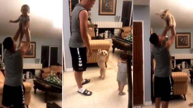 Adorable Maltese wants to join in all the fun too, after the dad playfully tosses his kid in the air