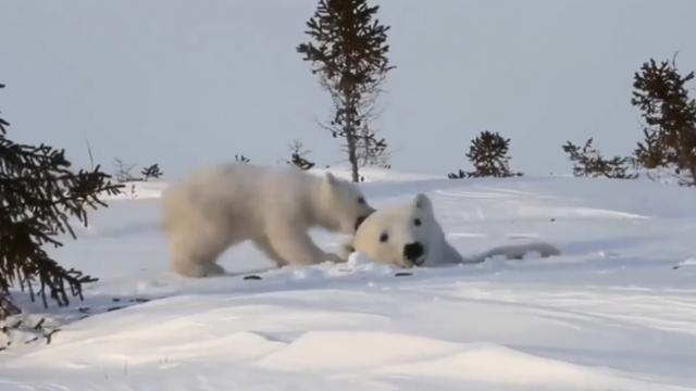 Adorable moment a polar bear cub play with its mom will make your day