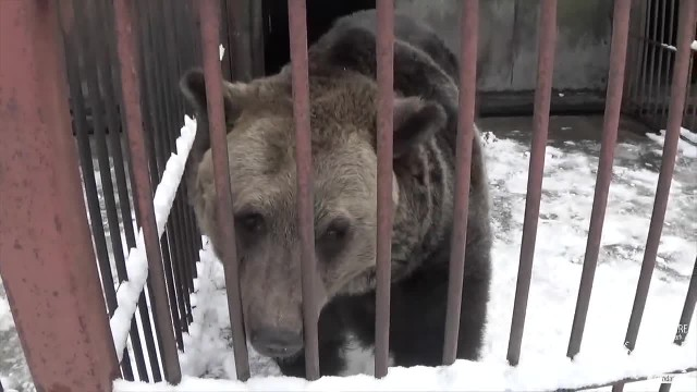 Bear is kept in tiny cage for 17 years - watch how he reacts when he's finally set free