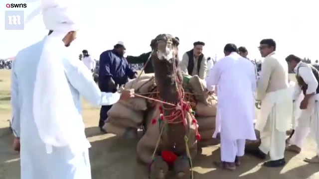 Poor Camels Forced To Move Excessive Loads Of Rocks In Cruel Weight-Lifting Contest