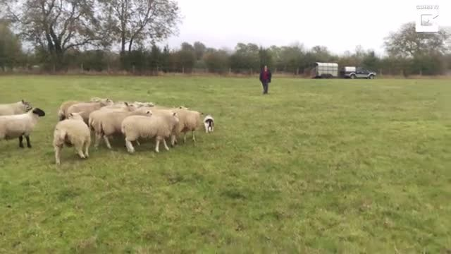 """Man Discovers His Basset Hound Is A Natural Sheep Dog Even If She's Blissfully Unaware Of It """