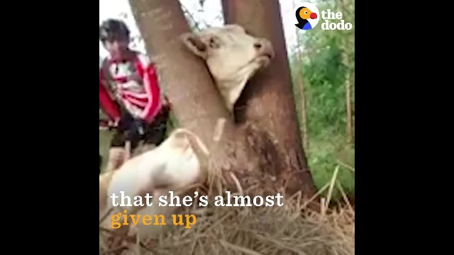 Cyclist discover scared cow stuck in a tree and rush to save her