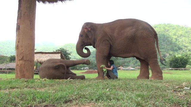 Mama elephant leads favorite caretaker to newborn baby and asks her to sing a lullaby