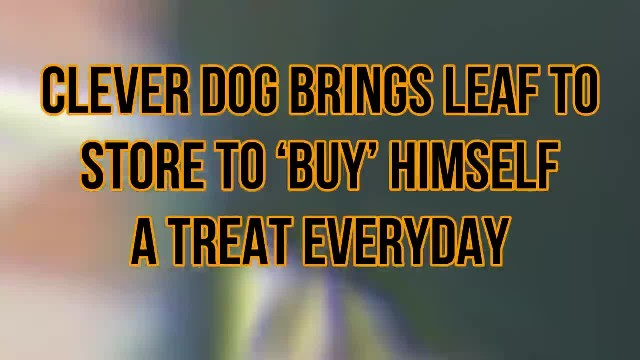 Dog brings a leaf to store every day to buy himself treats
