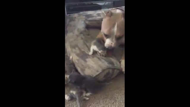 Pit Bull Who Loves Cats Finally Gets His Own Litter Of Kittens