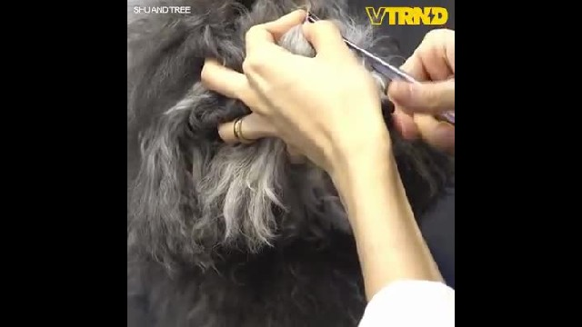Overgrown poodle gets new haircut that has internet coming unglued over